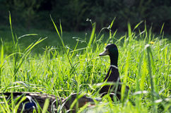 Ducks walking on a grass Royalty Free Stock Images