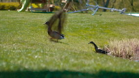Ducks are walking in the park stock video footage