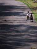 Ducks Walking in a Row. The Duck Walking in a Row Royalty Free Stock Photo