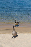 Ducks walking by shore of lake Royalty Free Stock Images