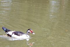 Ducks are walking and swimming in the farm. Ducks are walking and swimming in the farm Stock Image