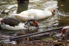Ducks are walking and swimming in the farm. Ducks are walking and swimming in the farm Royalty Free Stock Image