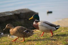 Ducks walking to the water. bokeh background. 2 ducks on the grass. daylight and colorful image. bokeh background royalty free stock photography