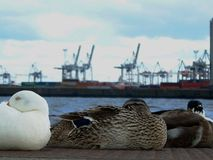 Ducks watching Blohm & Voss, Hamburg royalty free stock images