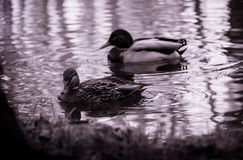 Ducks are watching you Stock Photography