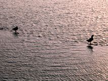 Ducks on the Water. Shallow waters, soft ripples and early morning light Stock Image