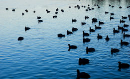 Ducks on Water. Scenic image of a large group of ducks on a rippling pond, enjoy Royalty Free Stock Photo