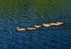 Ducks in the water Stock Photography