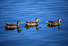 Ducks in the water. Three ducks in a lake Stock Images