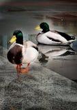 Ducks in water stock images