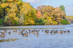 Ducks on water with Autumn trees background Royalty Free Stock Photo