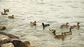 Ducks In the water background stock video footage