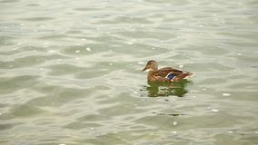 Ducks In the water background stock video