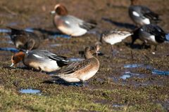 Eurasian Wigeon, Wigeon, Duck, Anas Penelope. Ducks - Water birds - Eurasian Wigeon, Wigeon, Duck, Anas Penelope Royalty Free Stock Photos