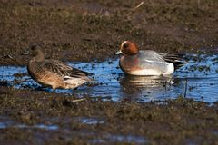 Eurasian Wigeon, Wigeon, Duck, Anas Penelope. Ducks - Water birds - Eurasian Wigeon, Wigeon, Duck, Anas Penelope Stock Images
