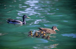 Ducks and Water with chicks Stock Images