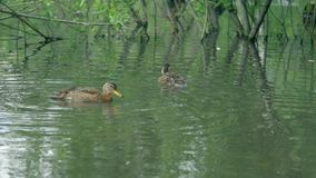 Ducks on water in city park pond. Ducks are swimming in a pond in a city park. stock video footage