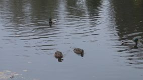 Ducks on water in city park pond. wild ducks in the lake. wild geese. ducks on water at day. Ducks stock footage