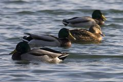 Ducks on water in cold winter sun royalty free stock photography