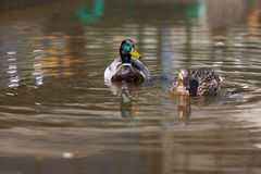 Ducks on the water Stock Images