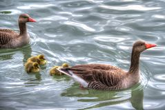 Ducks on Water Royalty Free Stock Photography