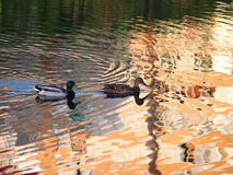 Ducks in water Stock Image
