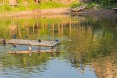 Ducks in water Stock Photo