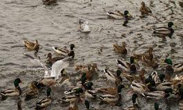 Ducks on water gulls. White seagulls in wild ducks Royalty Free Stock Photography
