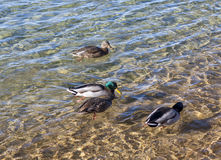 Ducks and Water. Ducks happily swimming in Lake Tahoe Royalty Free Stock Photo