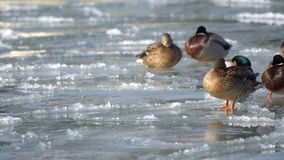 Ducks in the water and on the ice stock video