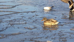 Ducks in the water and on the ice stock video footage