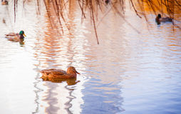 Ducks in water Stock Images