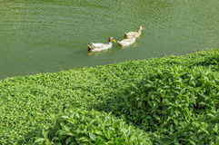 Ducks in water of the lake Royalty Free Stock Photos