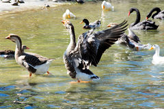 Ducks in the water. Large group of the ducks in pool.Selective focus on the duck in the middle with open wings Royalty Free Stock Photo