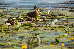Ducks in the water lilies. Landscape with ducks, water lilies and polluted river Royalty Free Stock Image