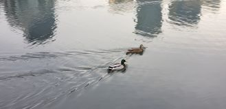 Ducks in the water stock photos