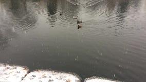 Ducks in water stock video
