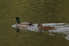 Bassin de la Muette - Elancourt – France - Ducks which swim in a lake close to a forest. The nature is beautiful. Stock Image