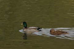 Bassin de la Muette - Elancourt – France - Ducks which swim in a lake close to a forest. The nature is beautiful. Royalty Free Stock Images