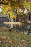 Ducks by the water. The Oudegracht, or old canal, runs through the center of Utrecht, the Netherlands Stock Photo
