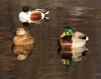Ducks on the water royalty free stock photo