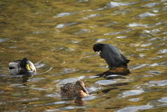 Ducks in a water Royalty Free Stock Photos
