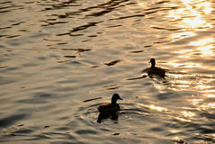 Ducks in a water Stock Photos
