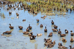 Ducks in the water Stock Image