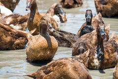 Ducks in the water Royalty Free Stock Images