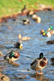 Ducks in a water Royalty Free Stock Image