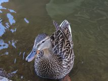 Ducks. Water pond zoo duck Stock Image