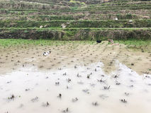 ducks in water on rice paddy field in of Dazhai Stock Image