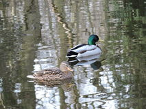 Ducks with Water Ripple Pond Stock Images