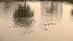 Ducks In the water at rural area stock video